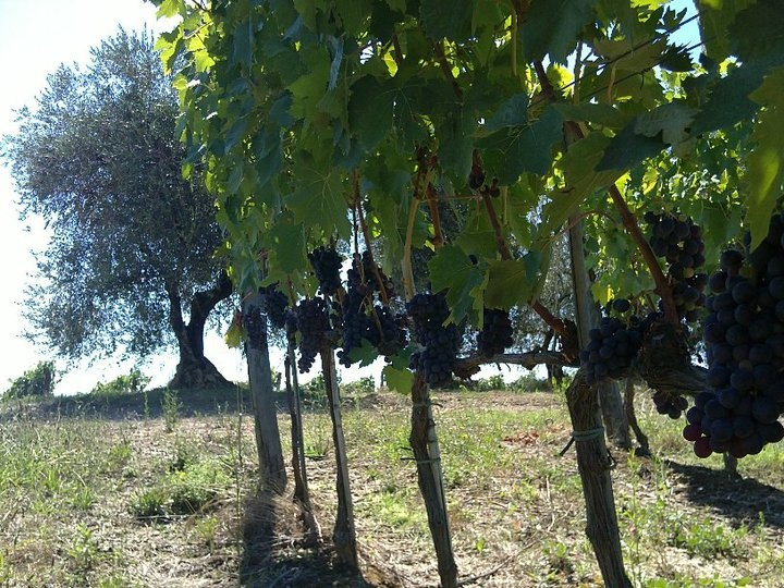 vineyards @ fattoria-fibbiano