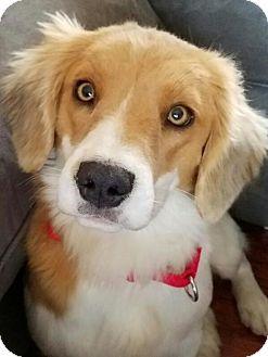 House Springs, MO - Beagle/Cattle Dog Mix. Meet Ellie, a dog for adoption. http://www.adoptapet.com/pet/17364560-house-springs-missouri-beagle-mix