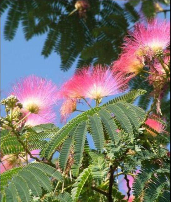 Albizia julibrissin, zijdeboom/Perzische slaapboom