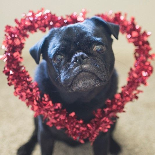 It's love week for the pug photo challenge this week! So let's see those love pug photos tagged #tpd_love #thepugdiary