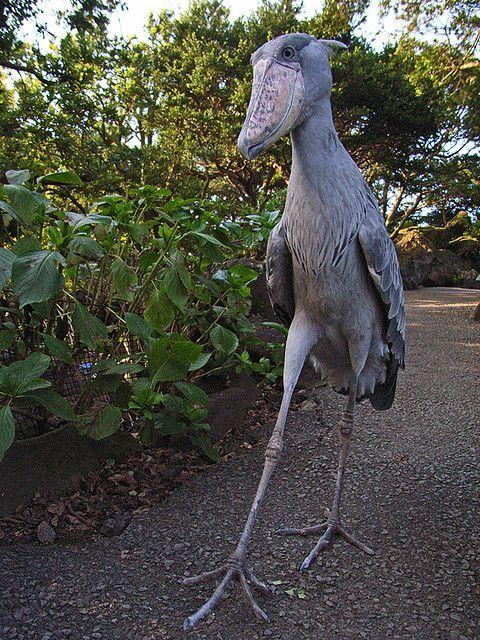 Dieser Vogel hat einen Schnabel der aussieht wie ein Holzschuh  Er heisst Schuhschnabel , auf englisch shoebill.