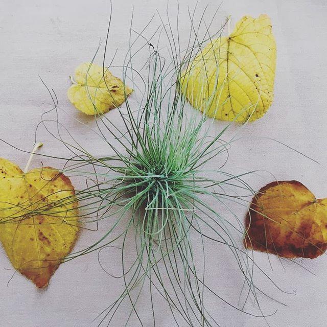 Luftpflanzen Berlin argentea & foliage #autumn #argentea #tillandsiaargentea