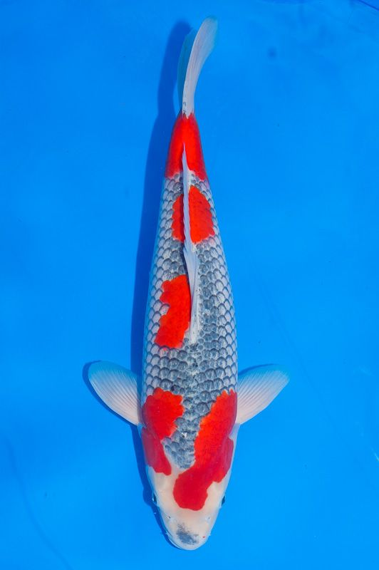 387 best images about fish on pinterest japanese koi for Koi fish size