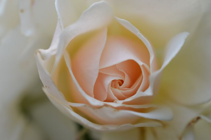 remember your special day and watch your love grow with a rose bush in your name