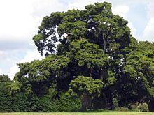 PodocarpusTotara2.jpg