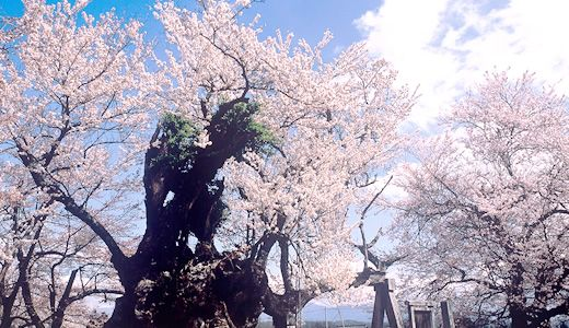 花季與楓葉季/山梨縣官方旅遊指南