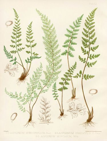 Eaton Antique Prints of Ferns 1879, botanical illustration.                                                                                                                                                      More