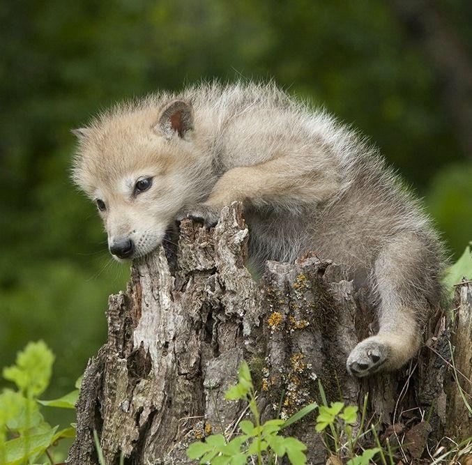 "beautiful-wildlife: ""Wolf Pup by © Jim Zuckerman """