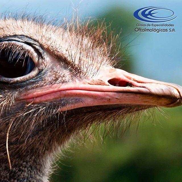 ¿ #SabíasQue las avestruces tienen los ojos igual de grandes a su cerebro? #CuriosidadesCEO  www.ceomedellin.com Foto vía http://goo.gl/DbKnAw