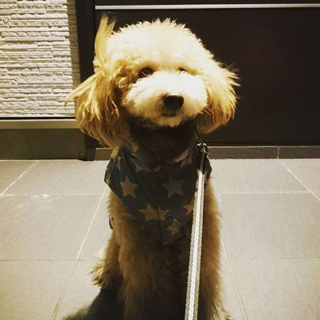 * お散歩帰りに玄関前で🐶 * #トイプードル #トイプードルクリーム #トイプードルベージュ #ぬいぐるみ #ふわもこ部 #犬 #dog #dogstagram #toypoodle #ワンちゃん #poodle #cute #男の子 #ぬいぐるみ犬 #愛犬 #モコモコ #ふわもこ #ワンコ #토이푸들