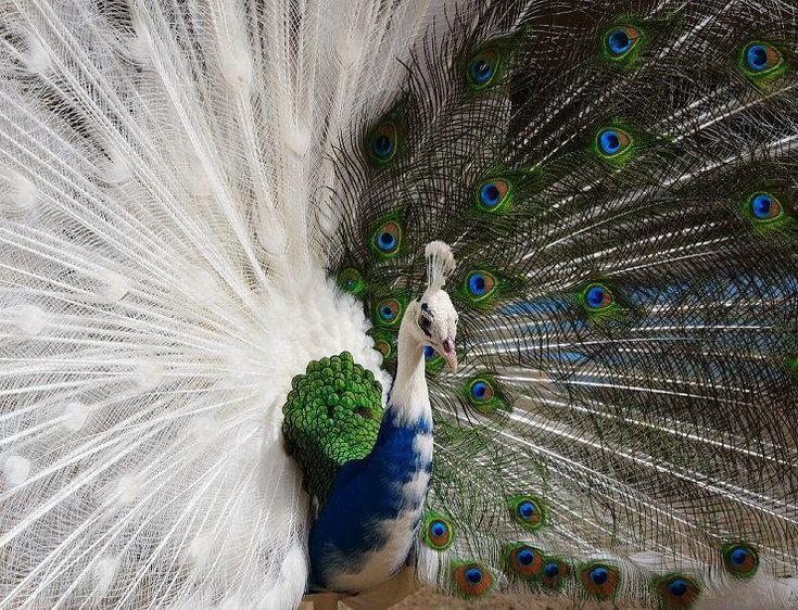 so pretty: Halfalbino, Pavo Real, Color, Albino Peacocks, Whitepeacock, Beautiful Birds, White Peacocks, Peacocks Feathers, Half Albino