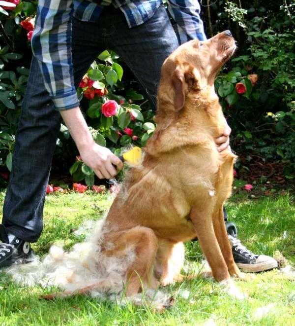 Managing Labrador Shedding The FURminator Products we