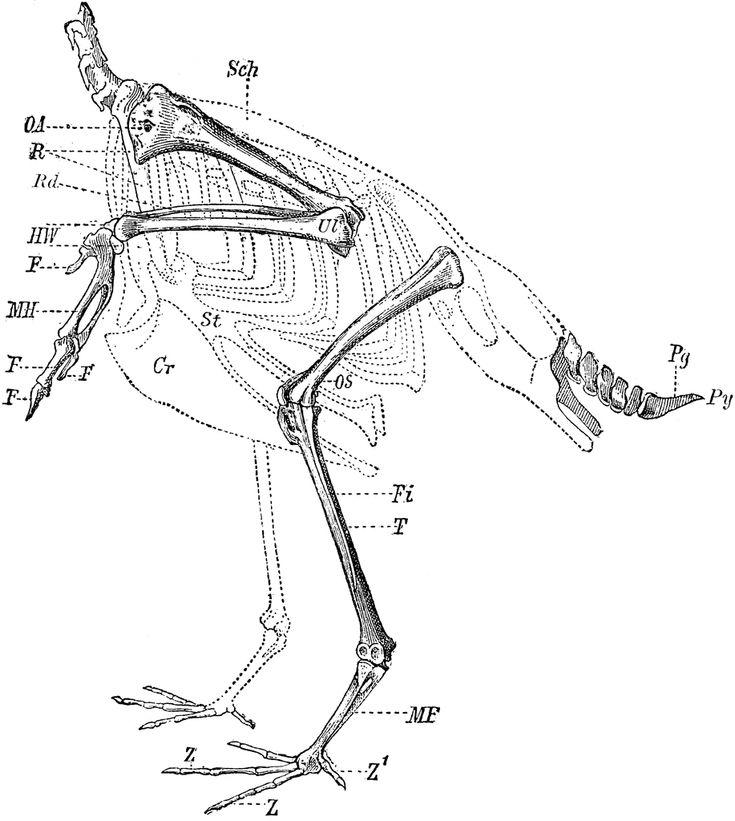 10 best Bird Anatomy images on Pinterest | Anatomy, Anatomy ...