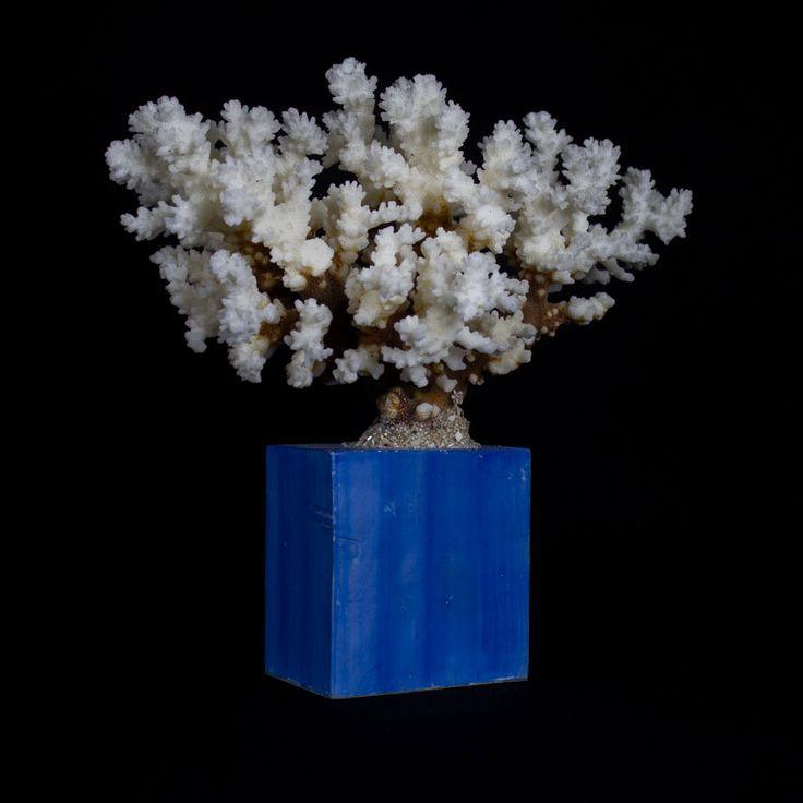 SOLD - white coral mounted on lacqued base.  Corallo bianco, montato su una base realizzata nel laboratorio con le antiche tecniche della gessatura, laccatura e brunitura