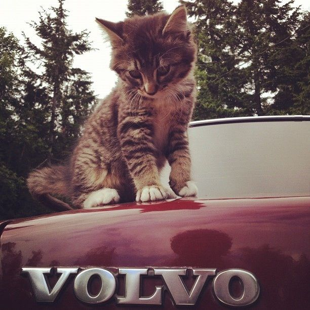 Why is it neighborhood cats always want to show love to the Volvo after it's been washed?
