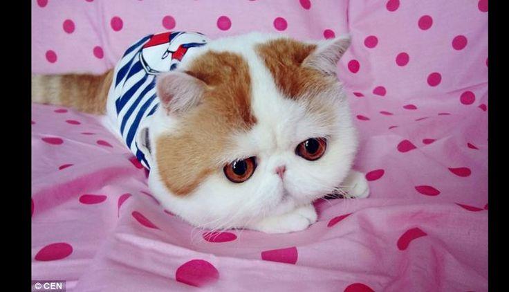 "#Snoopybabe el gato ""peluche"" que causa furor en internet. #trome"