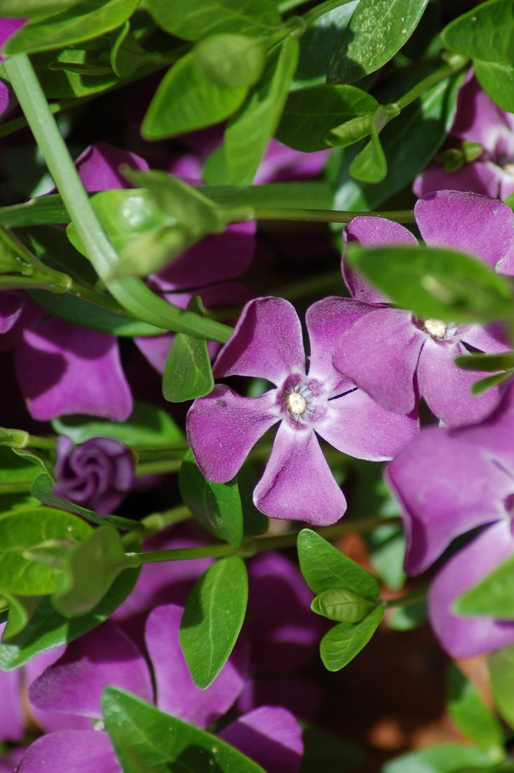 Picture Of Purple Vinca This Viney Ground Cover Is Moremonly Seen With  Blue Flowers