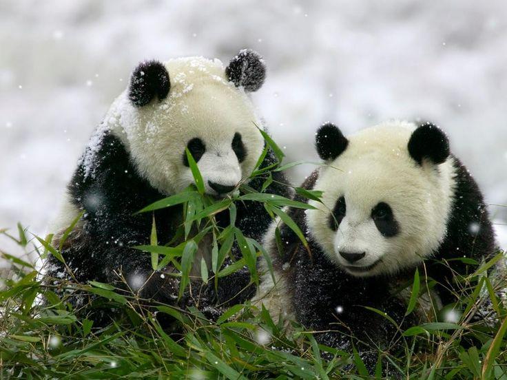 osos pandas bebés