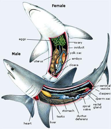 An inside look at sharks.