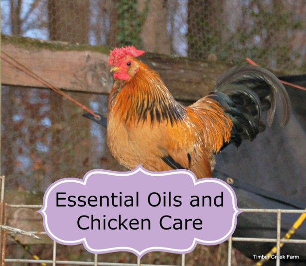 Essential OIls for Chicken care