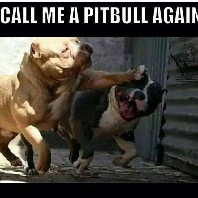 Bully life ! #americanbully  My Love American Bully :)