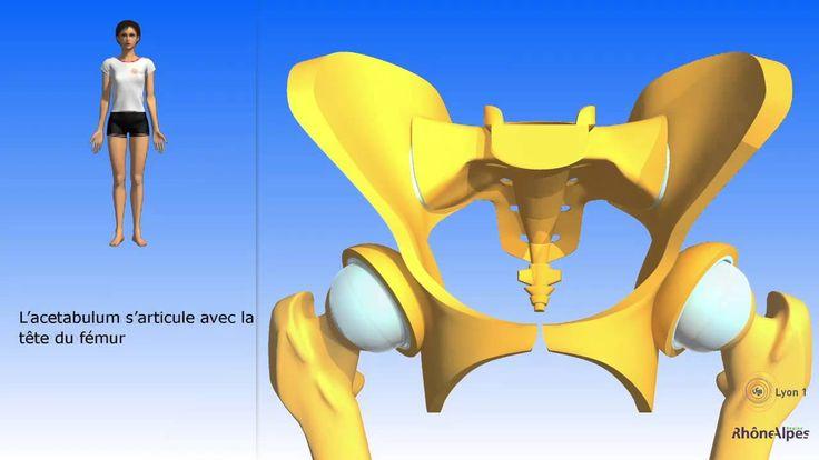 Le bassin simplifié: l'os coxal simplifié