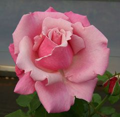 Heaven Scent - Large orchid pink blooms have an intense old damask rose fragrance.   The long, single stems have few thorns with lush green foliage.   An easy to grow rose combined with a powerful perfume are desirable qualities.