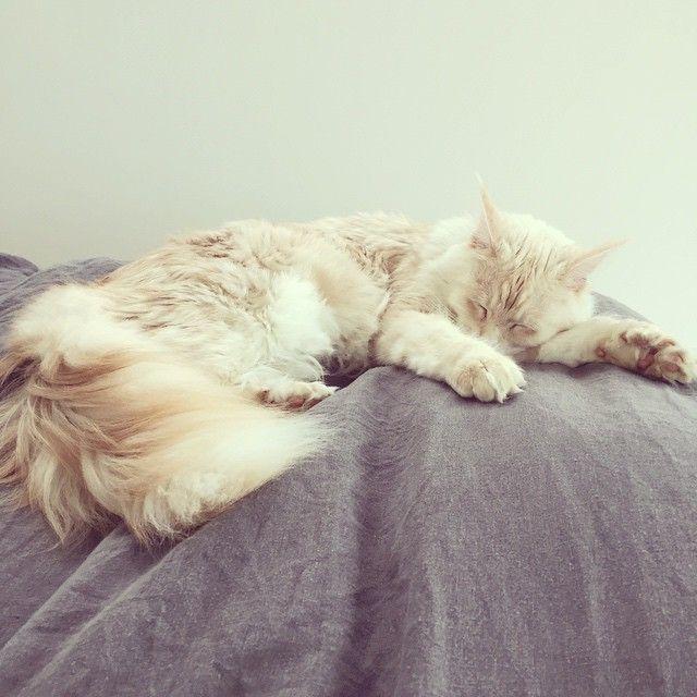 Ce chat exceptionnel dont j'ai la chance de partager la vie  #judithlablanche #chat #cat #mainecoon #polydactyle #perfection #judithturesteslareine