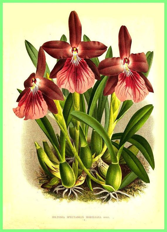 antique french botanical print red orchid от FrenchFrouFrou
