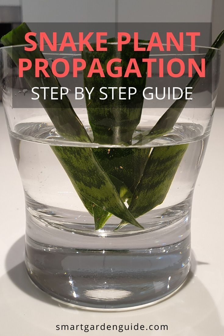 Snake Plant Propagation 4 Ways To Grow Snake Plant Cuttings With