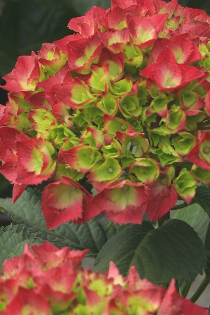 Compact Cityline® Paris hydrangea has long-lasting, red blooms that age to an attractive green.