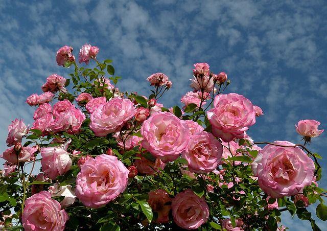 Rózsák, Bush, Rózsaszín, Kert, Virágos, Szépség