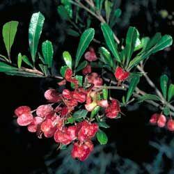 Dodonaea viscosa- native hop bush, used buy early white settlers to brew beer.