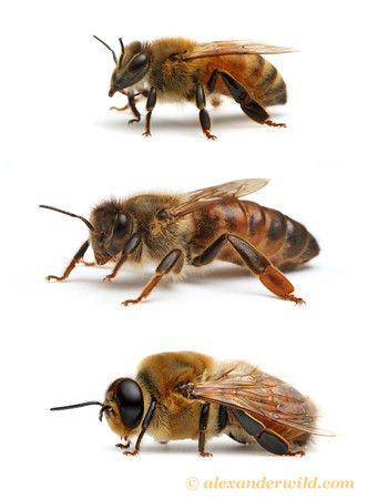 Castes of the western honey bee Apis mellifera: worker, queen, and drone.   Visit www.alexanderwild.com