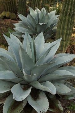 Desert Agave is a drought-tolerant plant that will attract birds, bees, & butterflies to your Colorado garden.