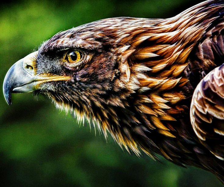 87 best art on wild wings images on pinterest watercolor - Birds of prey wallpaper hd ...