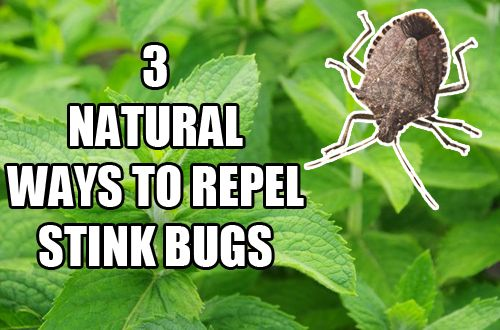 3 Natural Ways To Repel Stink Bugs