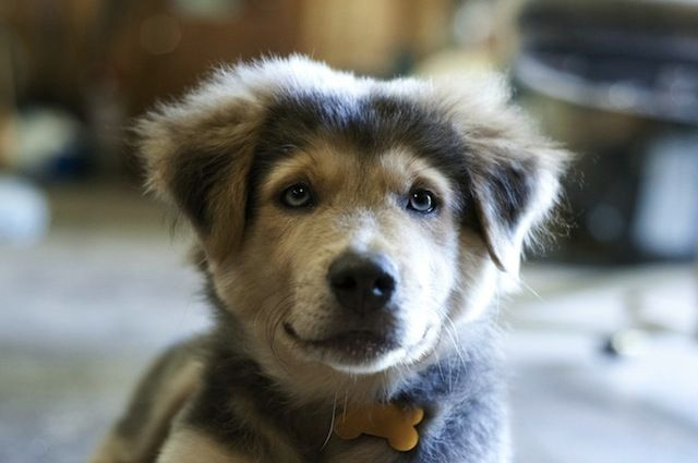 Should You Adopt a German Shepherd Siberian Husky Mix For Your Family?