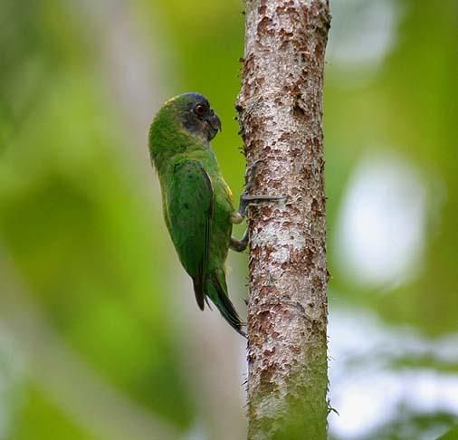 Geelvink Pygmy-parrot, Nuri kate geelvin (Micropsitta geelvinkiana); endemic bird, Psittaciformes- Psittacidae