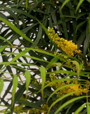 'Soft Caress' Mahonia. 3 ft Height x 3 ft Wide. Part shade or shade. Yellow flowers followed by blue berries.