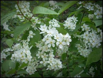 Nalewka czeremchowa na kwiatach