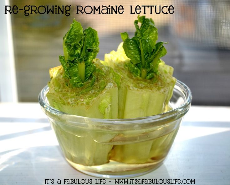Re-Grow your Romaine Lettuce from kitchen scraps! This is after only 6 days! Fun project for the kids! - Its A Fabulous Life