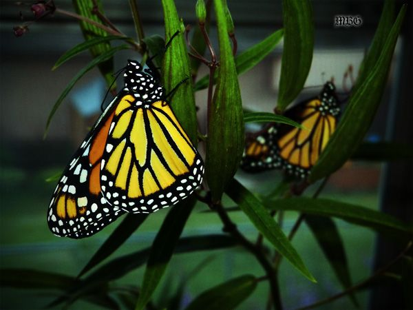 2 Monarchs Get Ready for Bed on Swamp Milkweed Pods