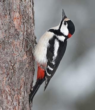 Käpytikka, Dendrocopos major - Linnut - LuontoPortti