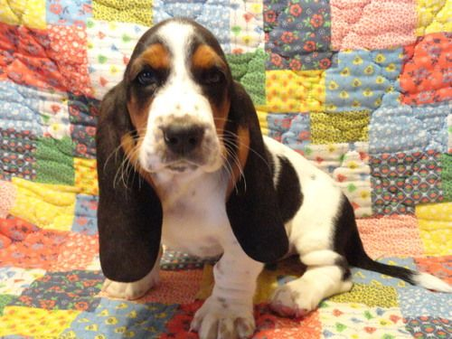 Basset Hound Puppies for Sale page 2