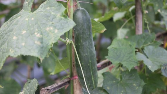 1000 id es sur le th me culture concombre sur pinterest culture du concombre planter - Quel legume planter en juin ...
