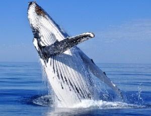 Breaching #humpback #whale off Augusta, Western Australia