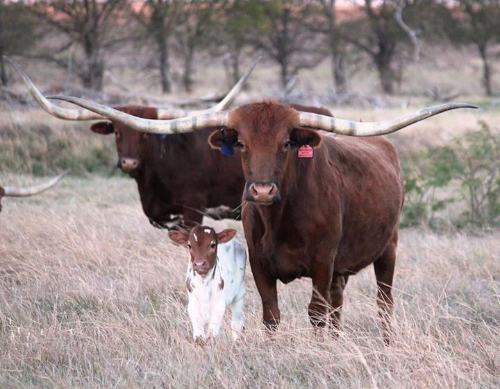 Mama Longhorn and new calf, cute.