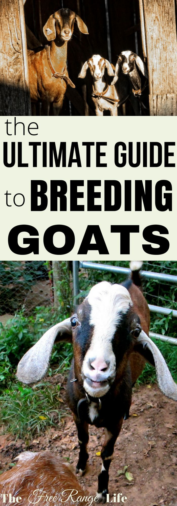 Are you getting ready to breed your goats for the first time? Find out everything you need to know about breeding goats.