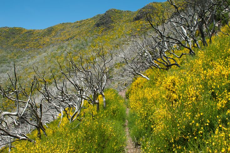 Yellow flowers. Nature takes control on the slopes of Pico Ruivo in Madeira - Portugal.